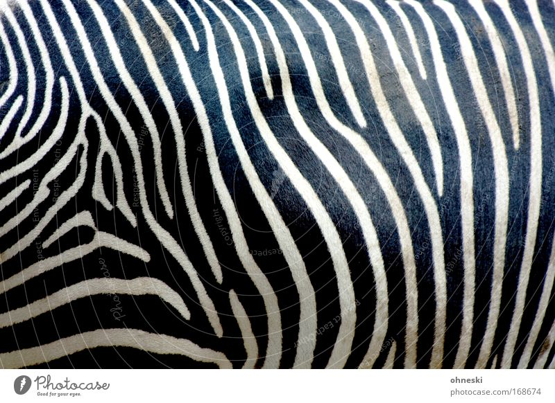 crosswalk Abstract Pattern Animal portrait Upper body Nature Wild animal Zoo Zebra Zebra crossing 1 Feeding Stand Wait Esthetic Exceptional Dirty Black White