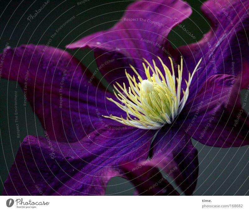 Flower Plant Yellow Dark Blossom Violet Concentrate Center point Splendid Clematis Aubergine