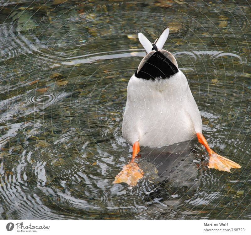 down under Dive Bottom Nature Animal Water Wild animal Bird Duck 1 Emphasis River Lake Tails Webbing To feed Aimless Sadness Float in the water