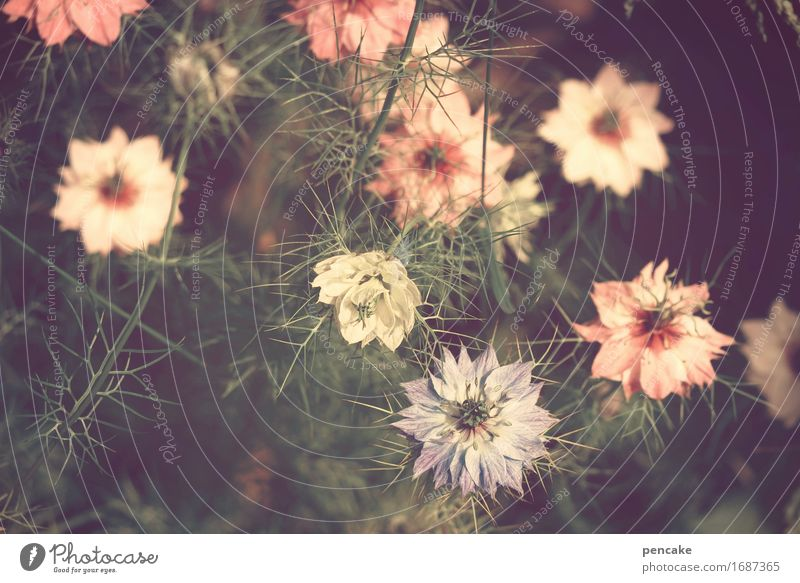 floral Plant Summer Beautiful weather Flower Blossom Garden Retro Love-in-a-mist Pink Blue Vintage Floral Flowery pattern Mysterious Colour photo Subdued colour