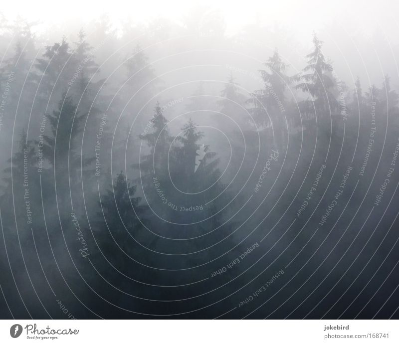 fog magic Nature Air Sunlight Bad weather Fog Tree Coniferous trees Coniferous forest Spruce Spruce forest Forest Hill Slope Point Creepy Thorny Many Gray White