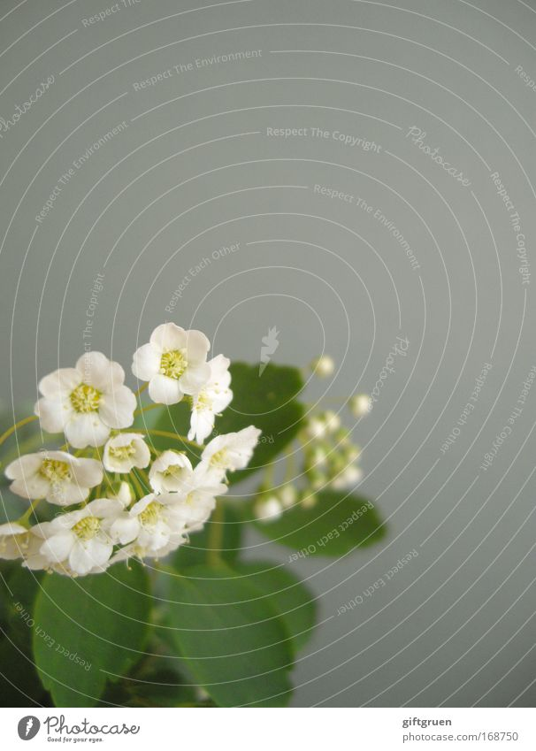 White Flower Green Plant Summer Blossom Spring Gray Environment Growth Corner Bushes Simple Delicate Blossoming Fragrance