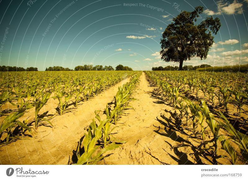 Maize field III Colour photo Exterior shot Deserted Sunlight Deep depth of field Central perspective Wide angle Agriculture Environment Nature Landscape Plant