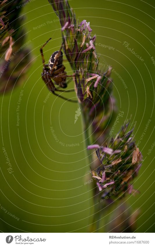 spider Environment Nature Grass Meadow Spider Disgust Green Crawl Insect Seed Blade of grass Colour photo Exterior shot Close-up Detail Macro (Extreme close-up)