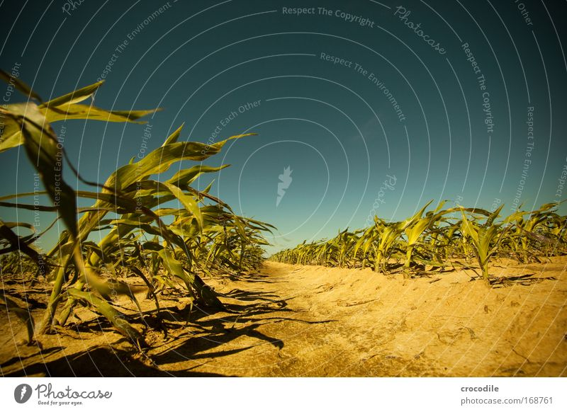 Maize field V Colour photo Exterior shot Deserted Sunlight Deep depth of field Central perspective Wide angle Agriculture Environment Nature Landscape Plant
