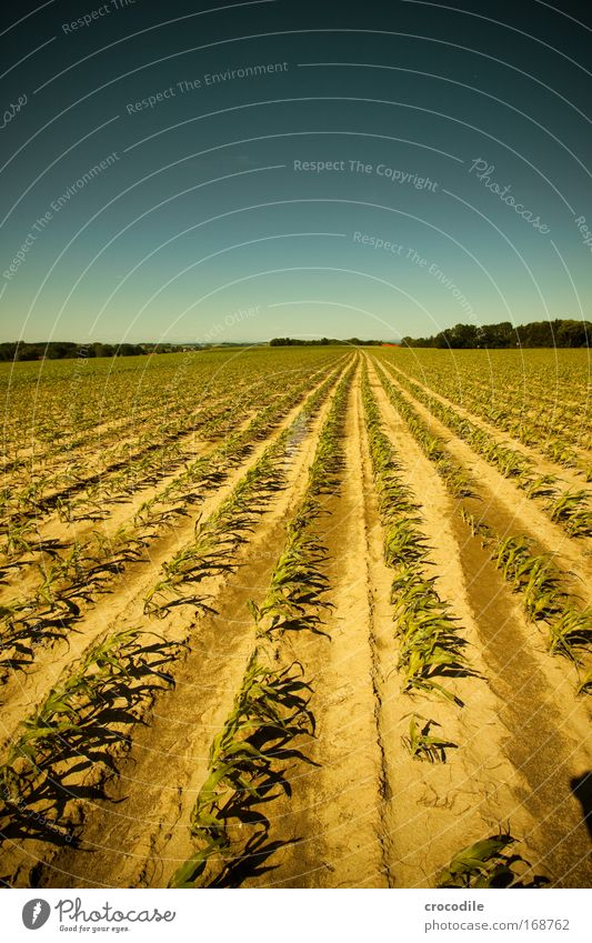 Maize field VI Colour photo Exterior shot Deserted Sunlight Deep depth of field Central perspective Wide angle Agriculture Environment Nature Landscape Plant