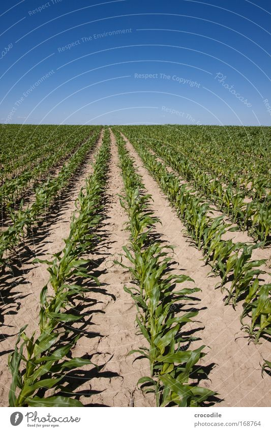 Maize field VII Colour photo Exterior shot Deserted Sunlight Deep depth of field Central perspective Wide angle Agriculture Environment Nature Landscape Plant