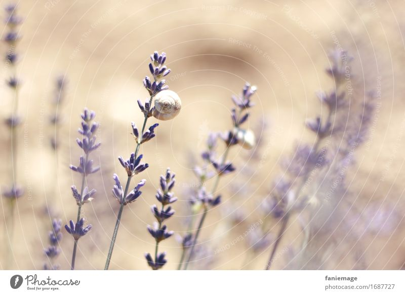 lavender snail Environment Nature Earth Beautiful weather Hot Bright Lavender Lavender field Snail Violet Warmth Southern France Provence Fragrance Romance