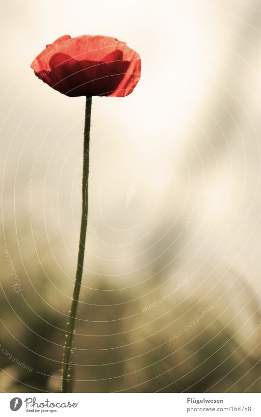 Flower Plant Loneliness Meadow Think Field Wait Glittering Growth Gloomy Infinity Longing Natural Pain Blossoming Poppy