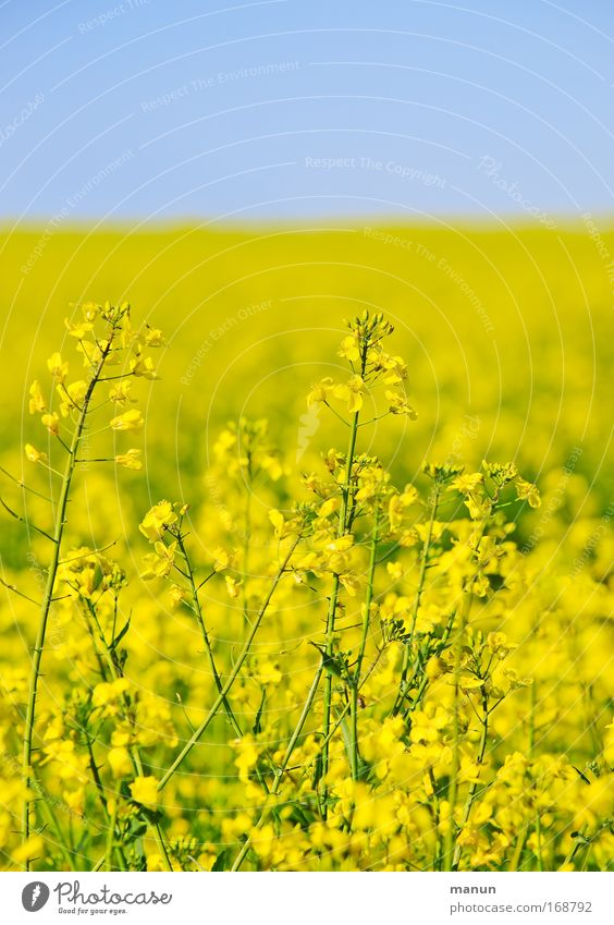 Nature Plant Summer Colour Yellow Environment Landscape Spring Field Energy industry Growth Beautiful weather Ecological Organic farming Cloudless sky Canola