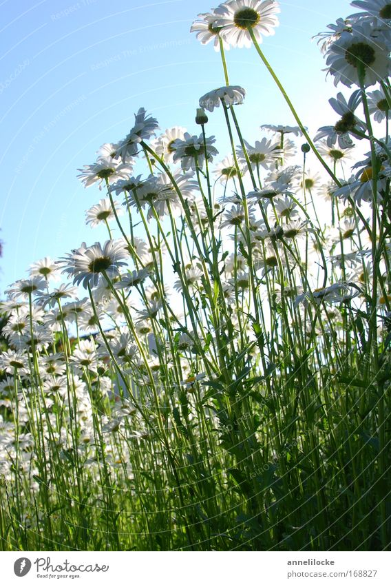 daisy meadow Exterior shot Neutral Background Day Back-light Worm's-eye view Nature Plant Sky Sun Summer Beautiful weather Flower Blossom Wild plant Park Meadow