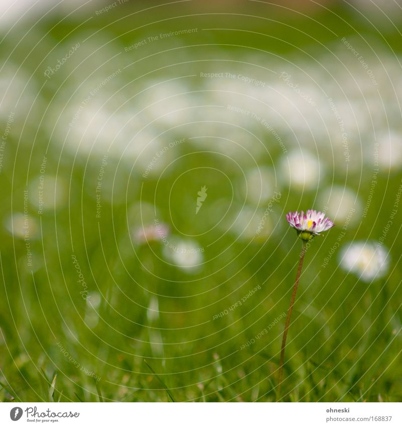 Nature Flower Green Plant Summer Loneliness Life Meadow Grass Fresh Hope Kitsch Uniqueness Idyll Daisy Unwavering