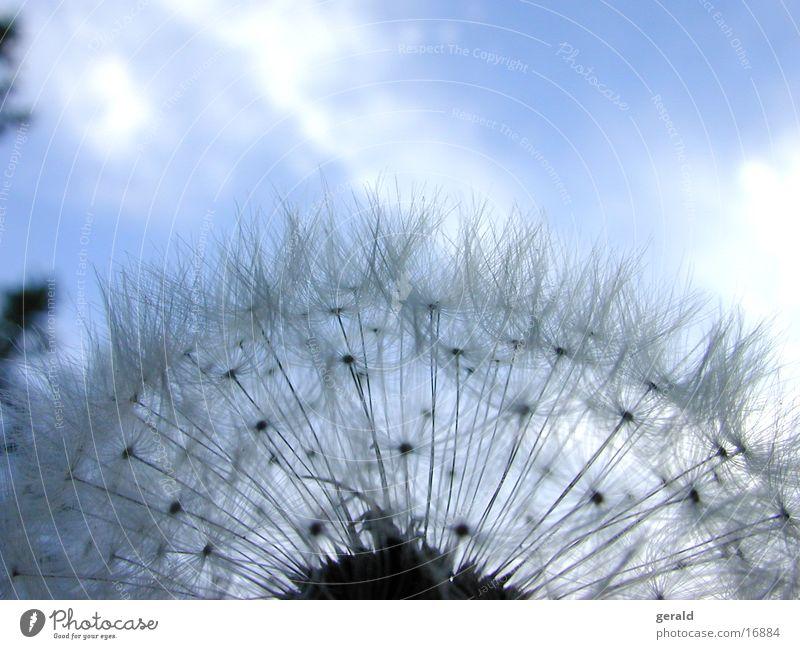 Sky Dandelion Faded Flower