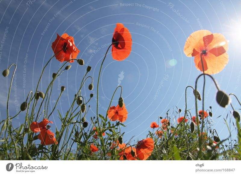 Nature Sky Sun Flower Green Blue Plant Red Summer Black Poppy Colour Meadow Emotions Blossom Grass