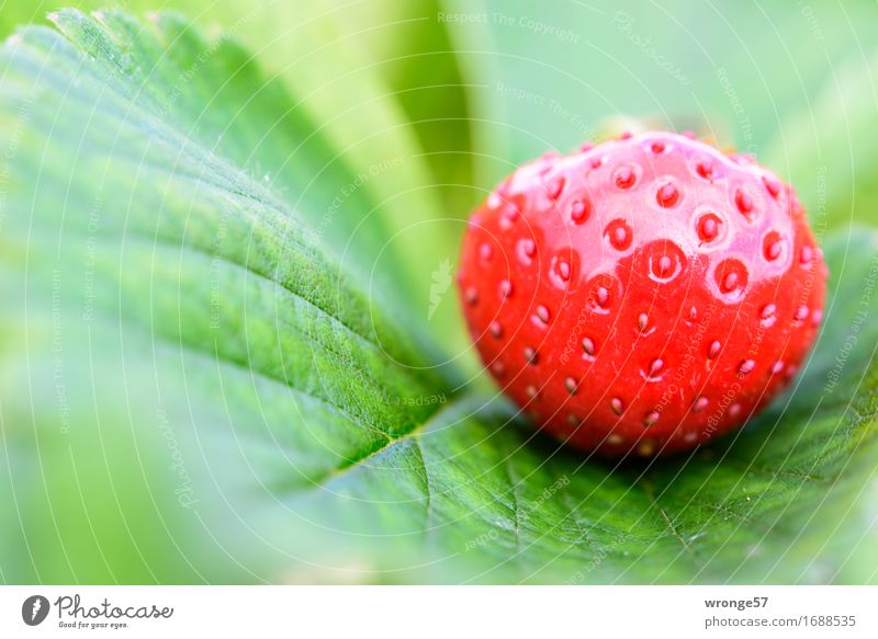 Strawberry season II Food Fruit Nutrition Vegetarian diet Fresh Healthy Glittering Delicious Juicy Sweet Green Red Leaf Leaf green Field Crops Close-up