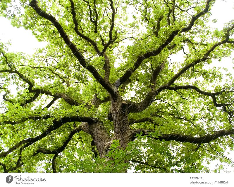Ancient Oak tree leaves drink crown of tree Forest Crust Wood Branch Branchage bark dendritic ancient giant Labyrinth twigs Leaf Botany Verdant flora