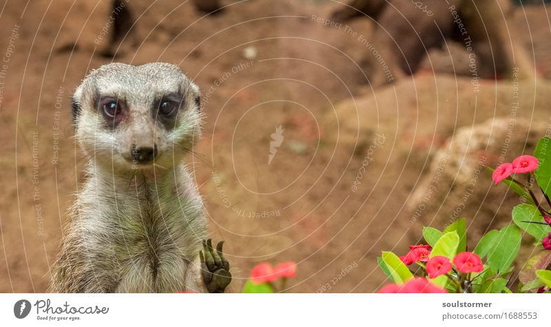hi Nature Landscape Animal Wild animal Animal face 1 Wait Longing Captured Prison cell Sadness Meerkat Paw Flower Blossom Colour photo Multicoloured