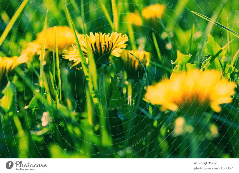 Dandelion - Caution biting II Colour photo Exterior shot Close-up Evening Sunlight Deep depth of field Nature Plant Spring Flower Grass Blossom Meadow Natural