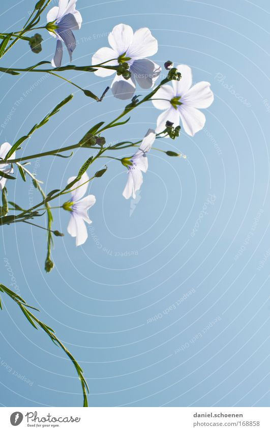 Nature Sky Flower Blue Plant Blossom Agricultural crop Cloudless sky