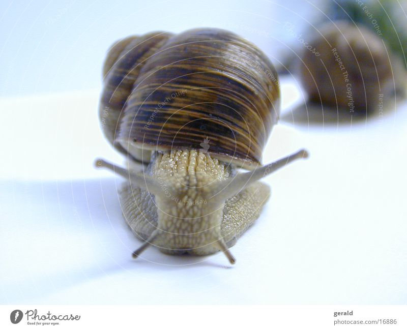 Snail Feeler Vineyard snail