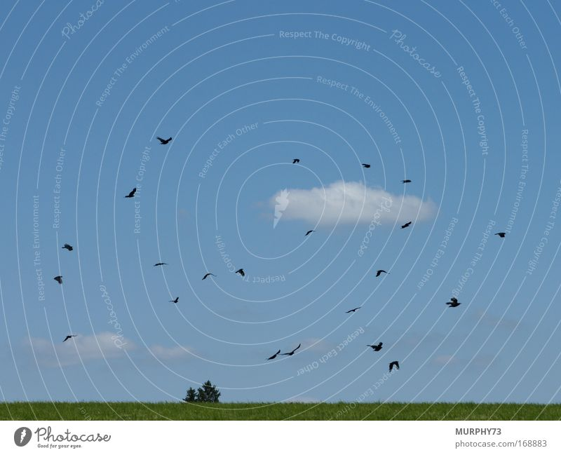 Swarm of crows in blue... Colour photo Exterior shot Deserted Copy Space top Day Silhouette Deep depth of field Wide angle Environment Nature Landscape Plant