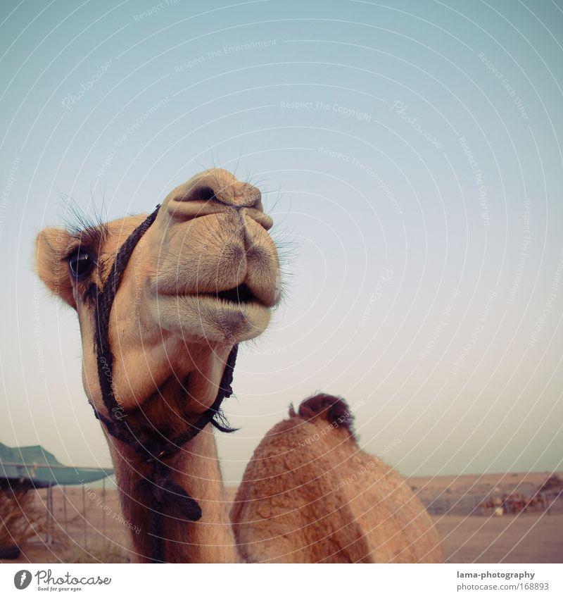 Beautiful Vacation & Travel Animal Sand Tourism Wild animal Animal face Curiosity Desert Zoo Smiling Noble Cuddly Farm animal Ride Dubai