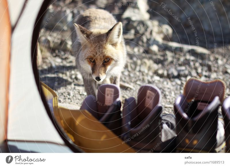 Fox Vacation & Travel Animal Winter Mountain Gray Tourism Orange Wild Fear Hiking Wild animal Footwear Speed Cute Adventure Climbing