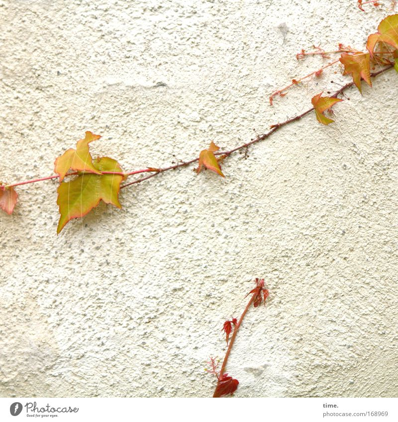 Nature Plant Leaf Wall (building) Spring Growth Vine Decoration Climbing Jewellery Upward Plaster Crawl Stick Subsoil Tendril