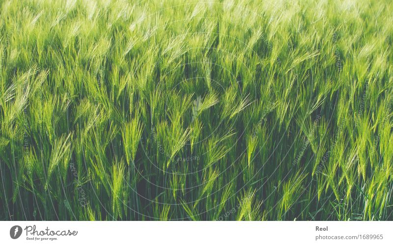 barley field Nature Landscape Plant Beautiful weather Agricultural crop Grain Grain field Barley Barleyfield Field Green Growth Seasons Agriculture Food