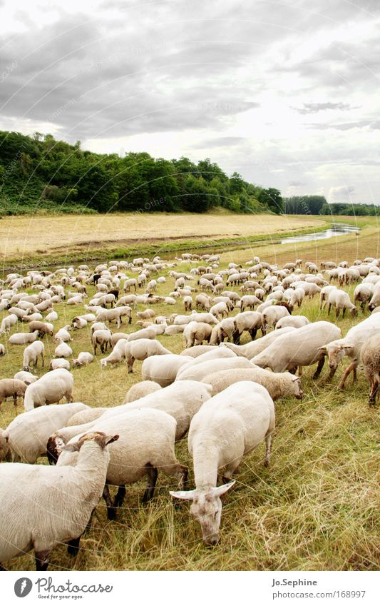 Eco Lawnmower Flock Sheep Herd Pet Farm animal Group of animals Willow tree Meadow Nature Landscape Lamb's wool New wool Wool Agriculture Organic farming