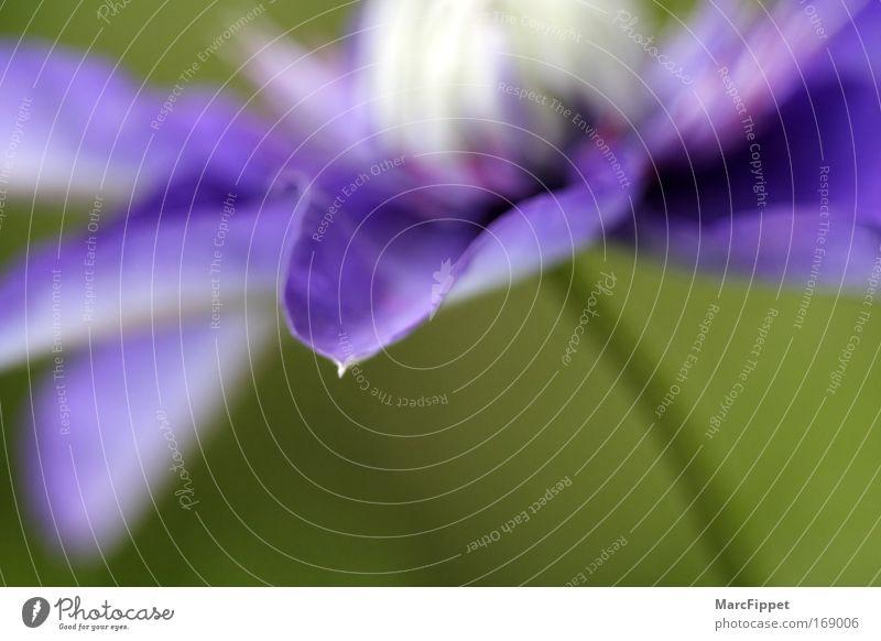 Nature Blue Green Plant Flower Colour Calm Blossom Esthetic Soft Violet Delicate Fragrance Macro (Extreme close-up) Clematis