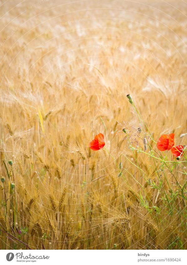 No bed in the cornfield Grain Barleyfield Agriculture Forestry Summer Beautiful weather Wind Flower Blossom Agricultural crop Corn poppy Field Movement