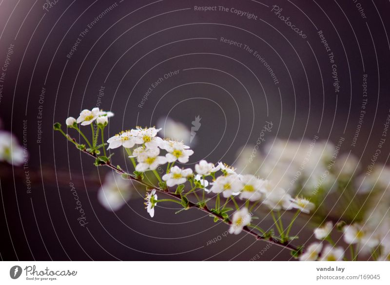 Nature Beautiful White Flower Plant Blossom Gray Small Environment Bushes Delicate Many Innocent