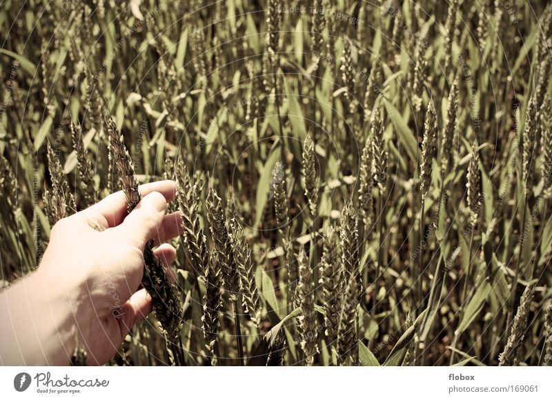 up close and personal... Food Grain Organic produce Hand Fingers Environment Touch Wheat Wheatfield Grain field Cornfield Agriculture Farmer Wheat grain