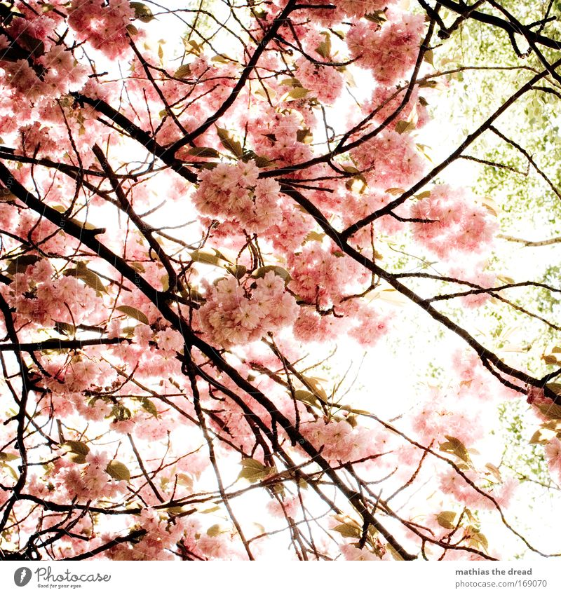 Nature Beautiful Tree Sun Plant Summer Blossom Spring Garden Wood Park Pink Fresh New Insect Branch