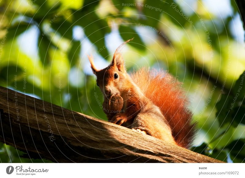 jealousy about food Environment Nature Landscape Plant Animal Tree Leaf Wild animal Squirrel Rodent Walnut Nut Pelt 1 To feed Feeding Cute Red Trust