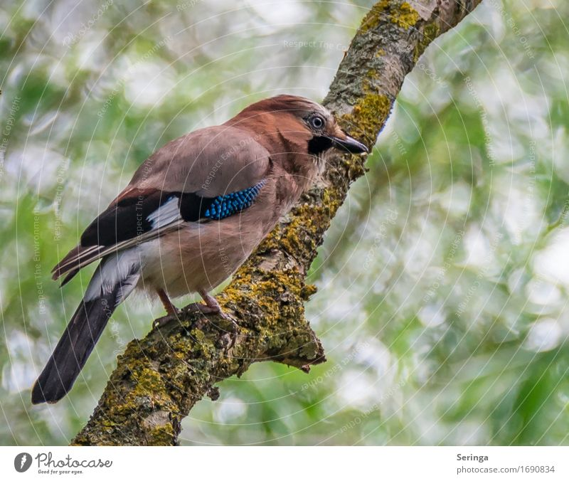 jays Tree Animal Wild animal Bird Animal face Wing Claw 1 Flying Jay Colour photo Multicoloured Exterior shot Close-up Detail Deserted Copy Space right
