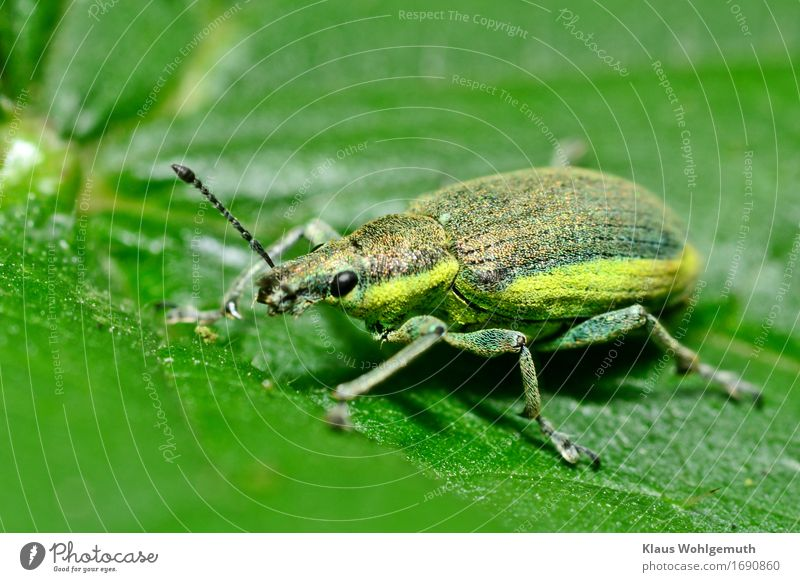 Thick thing Environment Nature Animal Spring Summer Foliage plant Meadow Forest Wild animal Beetle Wing Scales Yellow snout beetle 1 Crawl Sit Green Black