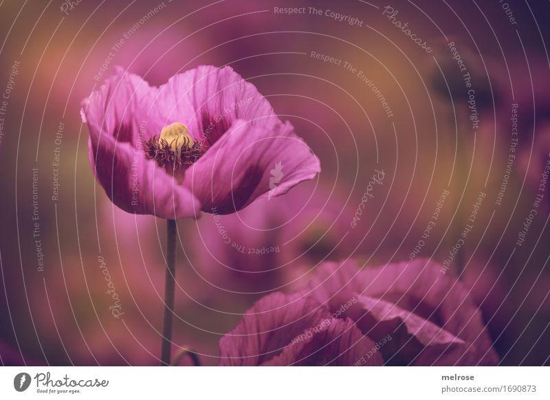 ** Eyecatcher ** Poppy Elegant Style Nature Plant Summer Beautiful weather Flower Leaf Blossom Poppy field Corn poppy Poppy blossom Pistil Poppy capsule Field