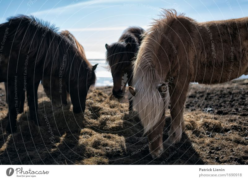 Ponies in Iceland Sky Nature Vacation & Travel Beautiful Landscape Animal Environment Life Meadow Natural Grass Earth Wild Weather Hair Island