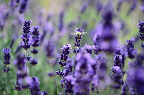 summer garden Plant Summer Beautiful weather Flower Blossom Agricultural crop Lavender Garden Farm animal Bee 1 Animal Blossoming Fragrance Discover Relaxation