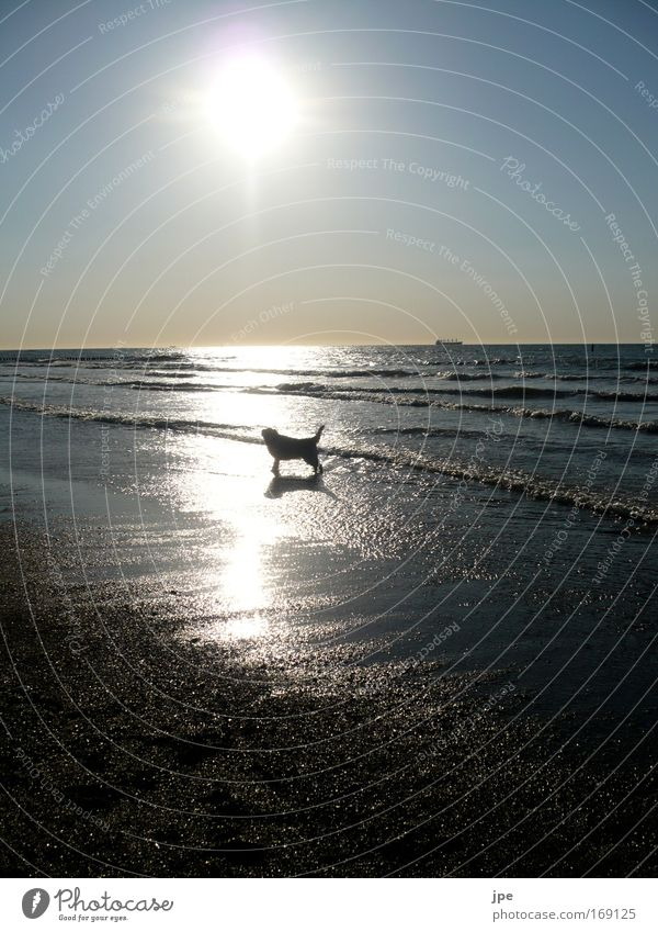 A beautiful dog life Colour photo Exterior shot Copy Space top Copy Space bottom Evening Shadow Silhouette Reflection Sunlight Sunbeam Back-light Freedom Beach