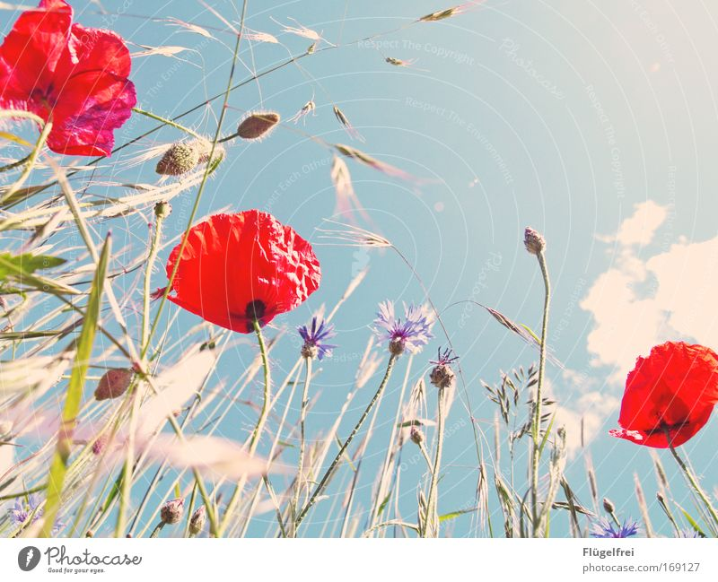 Sky Nature Blue Green Plant Sun Red Flower Clouds Environment Warmth Grass Bright Natural Field Poppy