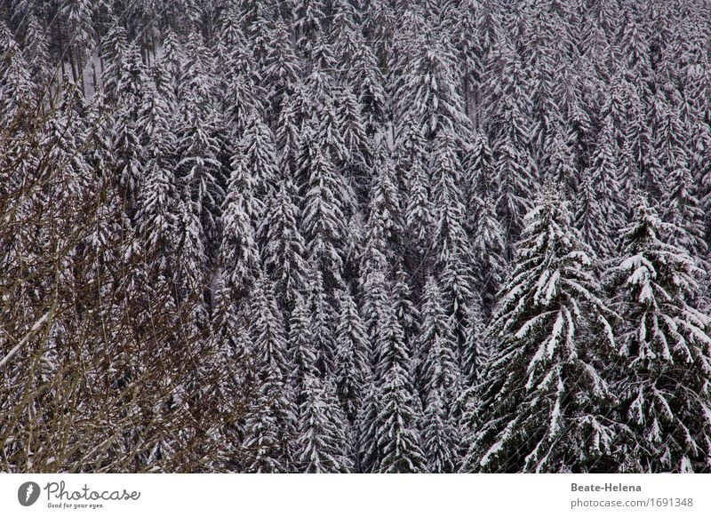 white Black Forest Winter Climate Weather Ice Frost Snow Esthetic Fresh White Contentment Calm Protection Stagnating Moody Snowfall Fir tree Coniferous forest