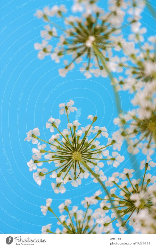 white fennel blossom against a blue background Fennel Apiaceae Herbs and spices Nutrition Eating Healthy Alternative medicine Blossom Blue Green White Upward