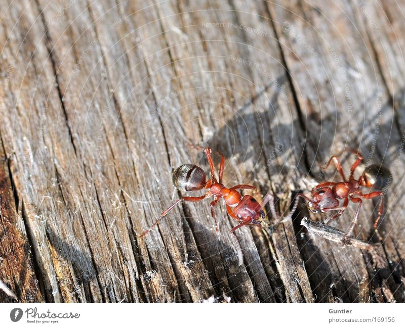Nature Tree Red Animal Black Wood Brown Field Wild Wild animal Pair of animals In pairs Insect Agree Ant Texture of wood