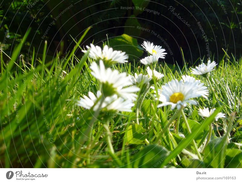 Beautiful Summer Flower Life Meadow Grass Natural Growth Multiple Joie de vivre (Vitality) Pure Heavenly Society Safety (feeling of) Daisy Breathe