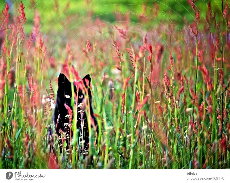 Nature Green Beautiful Red Plant Black Animal Yellow Meadow Landscape Environment Cat Power Speed Wild Might