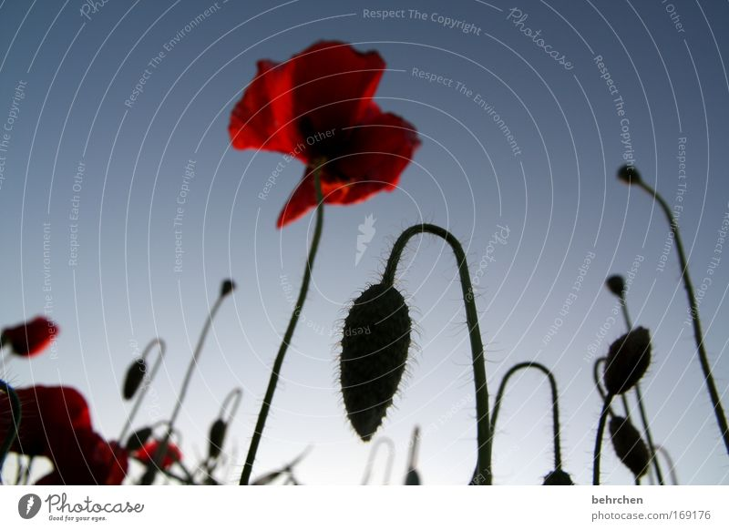 Nature Beautiful Plant Red Summer Blossom Warmth Field Stalk Poppy Beautiful weather Bud Cloudless sky Poppy blossom