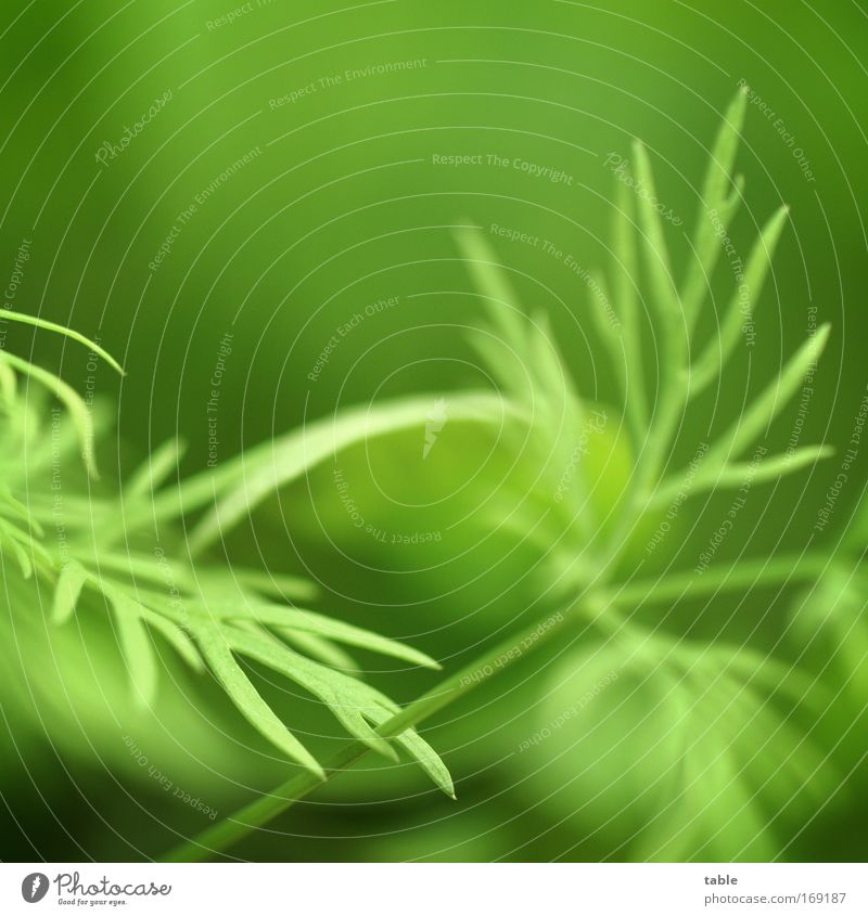 dill Colour photo Macro (Extreme close-up) Copy Space top Food Vegetable Herbs and spices Dill Healthy Fragrance Garden Kitchen Trade Environment Plant